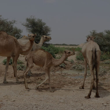 Benefits of camel leasing to pastoral household